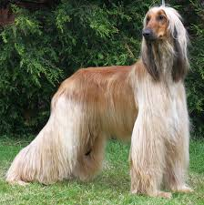 afghan hound judging list the world u0027s 10 hardest dog breeds to train quiet corner