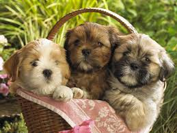 112 best i love my lhasa apso images on pinterest puppy love