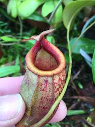 Tropical Plants Images - nepenthes mira u2013 the wonderful pitcher plant tropical biodiversity