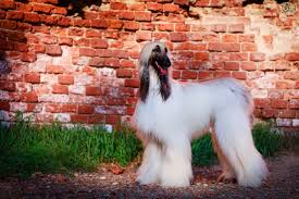 afghan hound dog images is the afghan hound a good choice of pet pets4homes