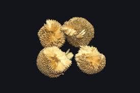 plane sycamore tree seed balls or platanus x afcerifola