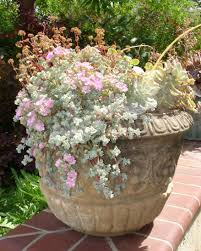 succulents meaning containers ongardening com