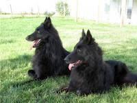 belgian sheepdog puppies texas find dog u0026 cat breeders near you