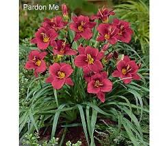 reblooming daylilies 49 best daylilies images on daylily garden backyard