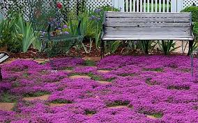 thyme ground cover designs