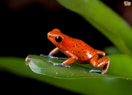 poison dart frogs pets4homes