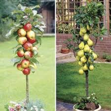 apple tree and pear tree from jersey plants direct 2 patio fruit
