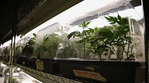 accusée d u0027incitation à la culture du cannabis l u0027entreprise indoor