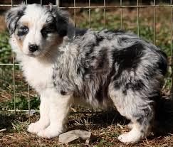 australian shepherd mini puppy lobo u0027s australian shepherds