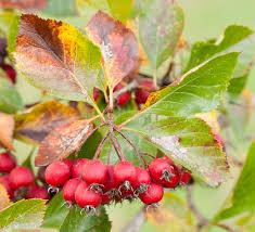 berries of ornamental bush stock photo image 64079064