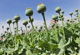 record high opium poppies flourish despite 7b battle