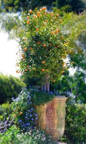15 best potted trees images on outdoor living potted
