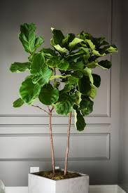 stunning fiddle leaf fig plant for exciting living room design