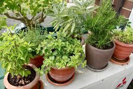 les herbes de cuisine plantes aromatiques au balcon comment cultiver les herbes