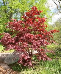 95 best trees for small gardens images on small