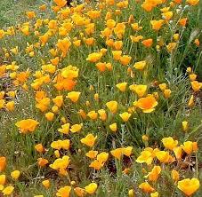 Home Design Show California Great Design Plant California Poppy