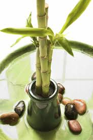 plants for the house best 25 lucky plant ideas on pinterest lucky bamboo plants