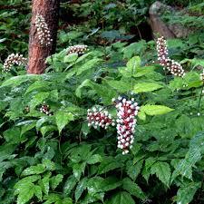 plants native to ontario white baneberry garden u0026 landscaping pine lane pinterest