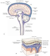 brain and spinal cord diagram inner body archives page 6 of 73
