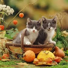 thanksgiving kitten images tianyihengfeng free high