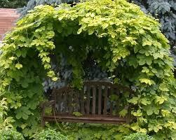 show me your decorative hops garden homebrewtalk