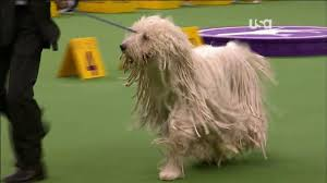 affenpinscher in orlando fl westminster dog show 2013 komondor will mop your floors