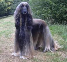 afghan hound club of america tall afghan hound dogs pinterest afghan hound afghans and