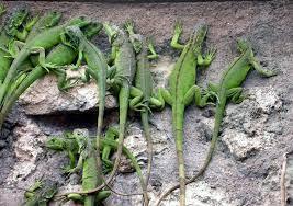 imágenes de iguanas verdes niños y niñas liberan 45 iguanas verdes en ixtepec istmo mx