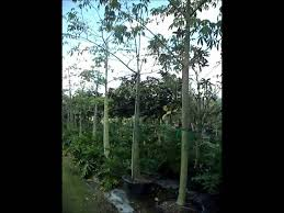 zylstra china1800 fruit bouquets silk floss trees at south florida nursery