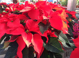 how to help poinsettias brighten the holiday season wiscontext