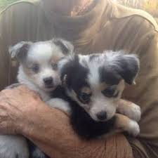 c c australian shepherds louisiana dog breeders in florida puppies for sale in florida