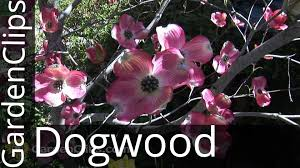 dogwood flowers flowering dogwood cornus florida how to grow dogwood tree