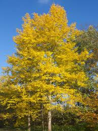quaking aspen trees for sale fast growing trees