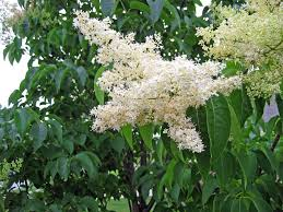 hoe and garden pictures japanese tree lilac