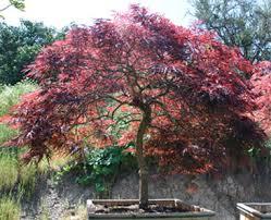 japanese maple japanese maple tree