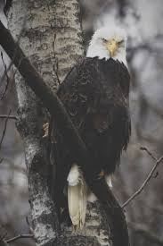 350 best eagles images on pinterest eagles photos and bald eagle