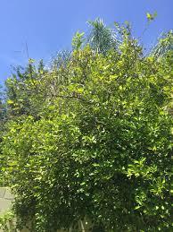 orange tree tree oak tree ask an expert