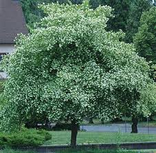 63 best trees images on shrubs garden trees and trees