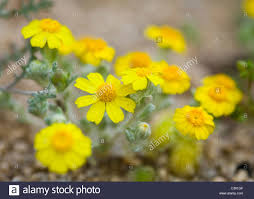 mojave desert native plants north american desert spring wildflowers california tickseed stock