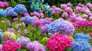 Hydrangea Flowers 4k Nan Lian Garden And Beautiful Hydrangea Flowers Youtube