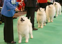 affenpinscher crufts 2016 168 best dog shows images on pinterest animals dogs and dog breeds