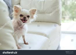 Pet Home Decor by White Chihuahua Dog Cute Pet Happy Stock Photo 619425398