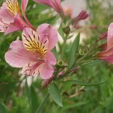Alstroemeria Alstroemeria U0027tall Pink U0027 At San Marcos Growers