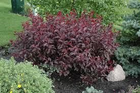 purple leaf plum prunus x cistena in edmonton st albert sherwood