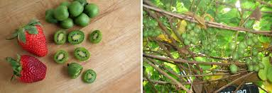 has anyone ever grown these kiwi berries they taste like a kiwi