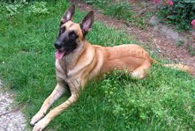 belgian shepherd hair loss dog lovers blog page 37 of 39 pet paw