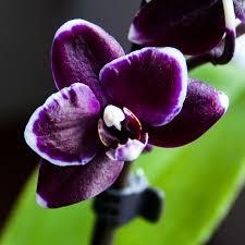 purple orchids 88 best orchid images on purple orchids orchid