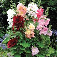 hollyhock flowers mix hollyhock flower seeds veseys