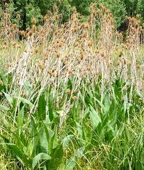 native american medicinal plants teasel wild rose and parsnipflower buckwheat celebrating gaia u0027s