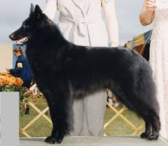 belgian sheepdog ohio general appearance belgian sheepdog club of america